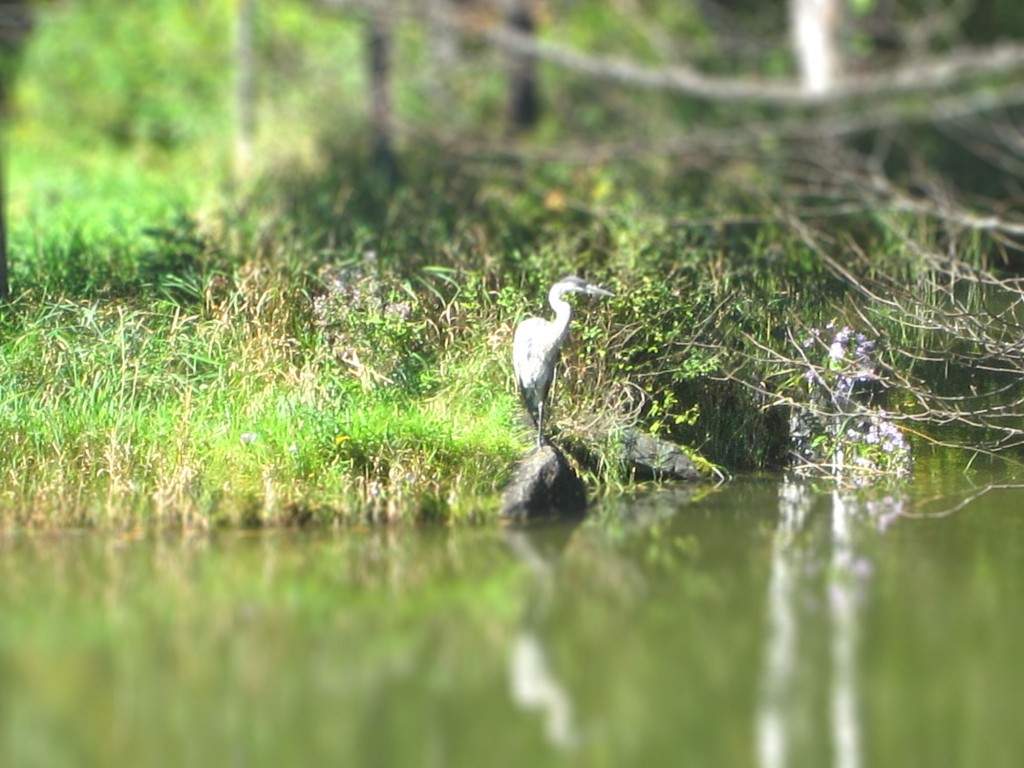 heron on the rocks